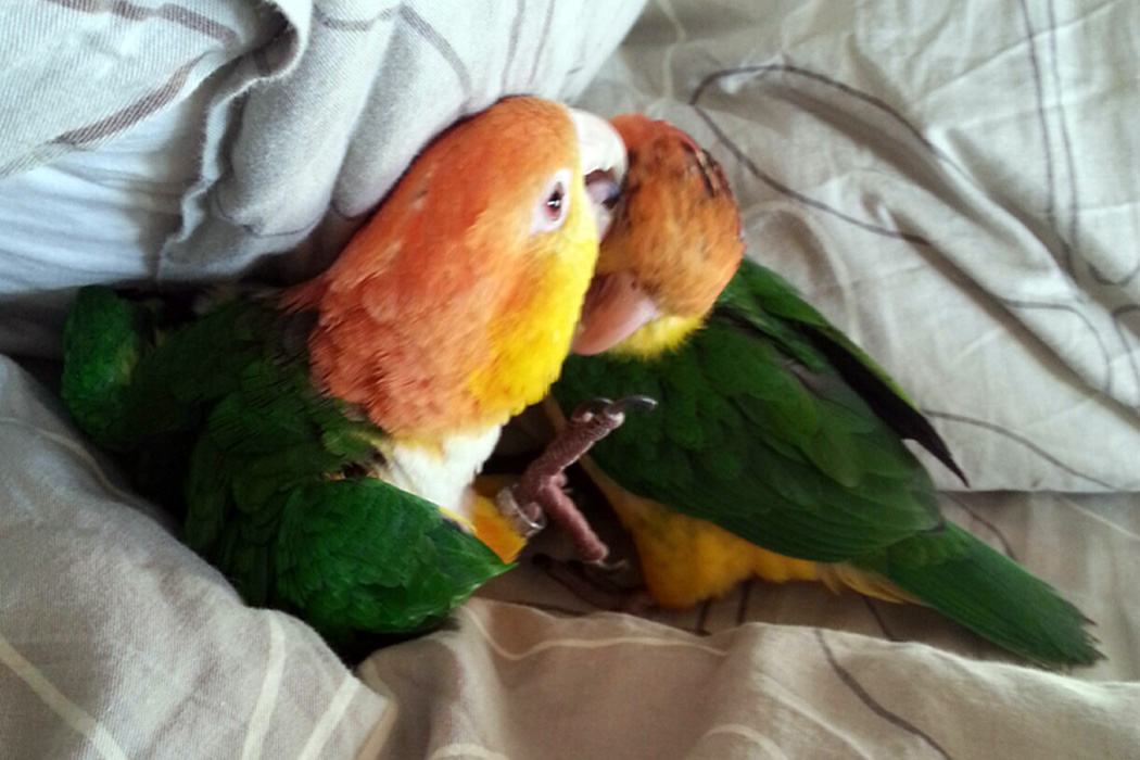 my pet my parrot